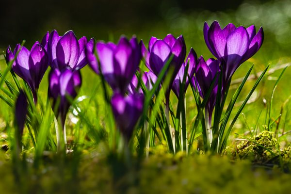 Flowering Dutch Crocus