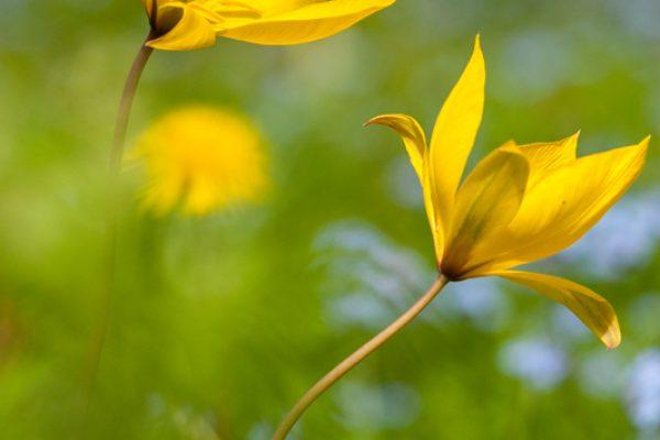 Bloeiende Bostulp, Flowering Wild Tulip