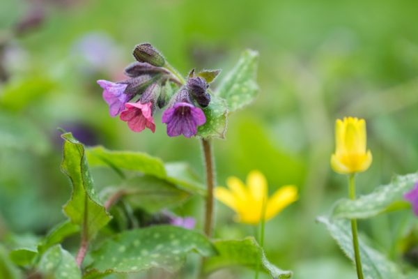 Common Lungwort flowers