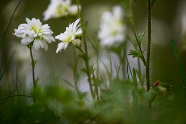 Meadow Saxifrage cultivar flowers
