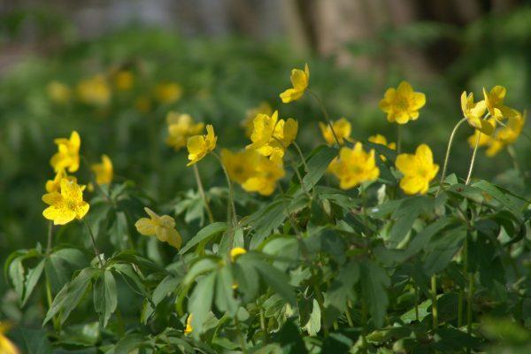 Gele anemoon 2