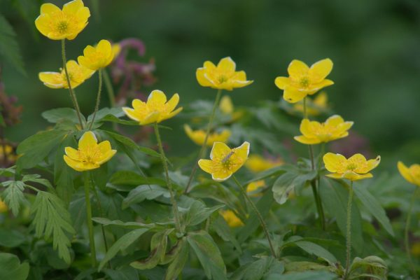 Gele anemoon 3